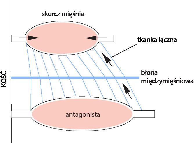 antagonista schemat